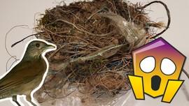 I bildet ser man et fuglereir laget av søppel, og en Trost (fugl)