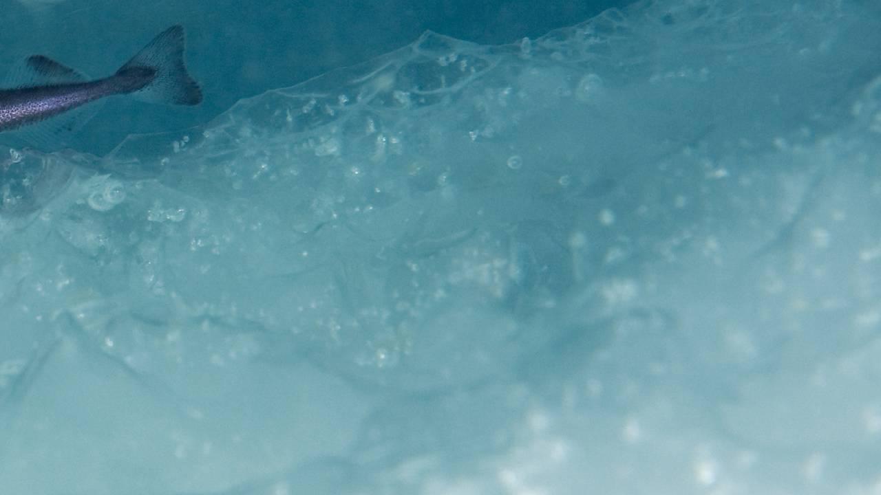 Halen på en Polartorsk skimtes i havisen