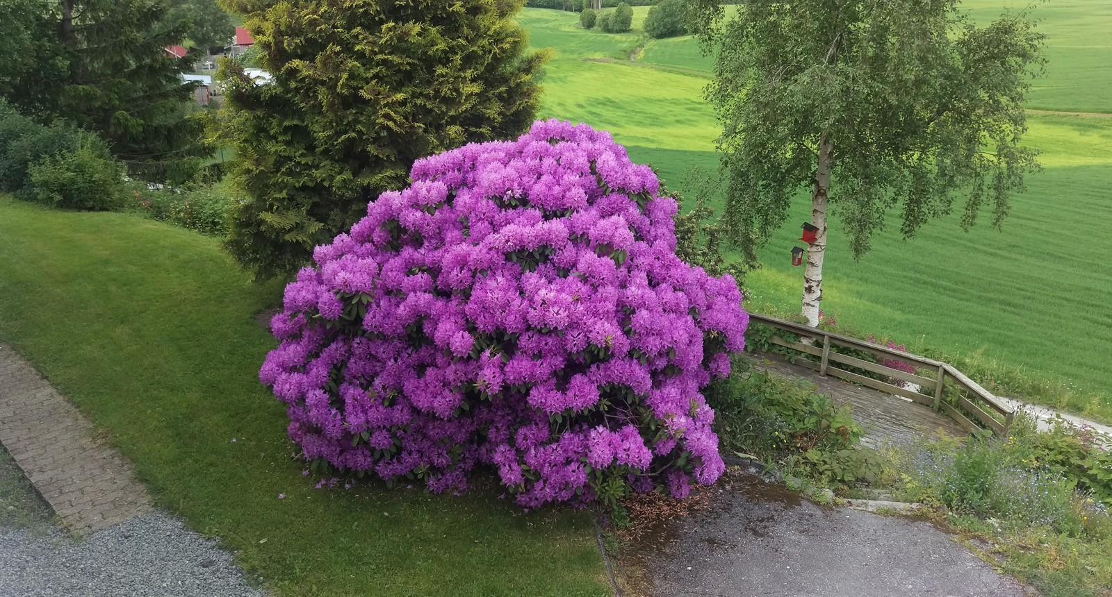 Rhododendron ved fylkesvei 470 i Skaun