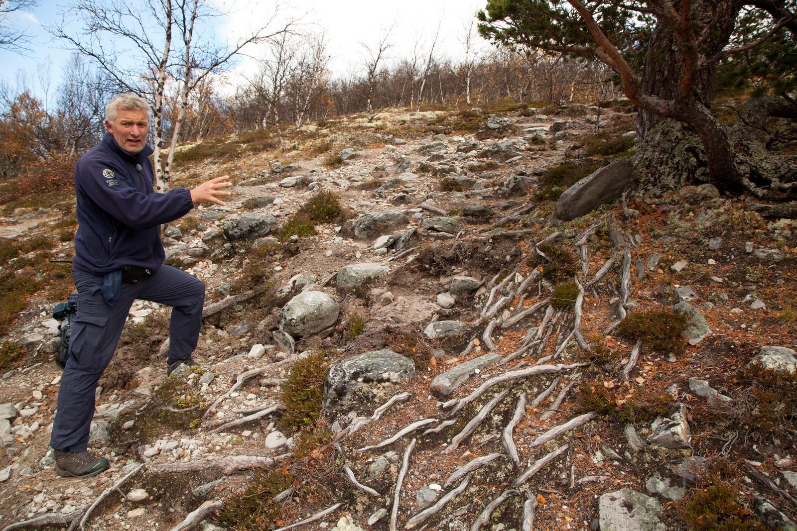 Trærne vil ikke klare seg i lengden når røttene blir så eksponert som dette. Derfor må det fylles ut og bygges trapper for å hindre mer slitasje.