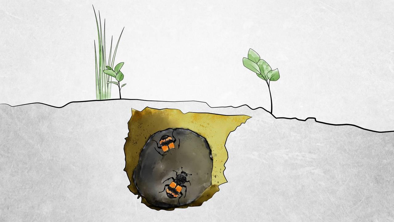 En tegnet illustrasjon der vi ser et tverrsnitt av bakken. Under bakken ser vi åtselbillene som har rullet et dødt dyr til en rund ball.
