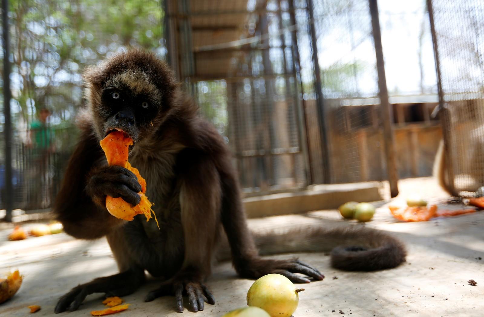 En ape nyter en bit med mango i Punto Fijo, Venezuela. Flere dyr går dagesvis uten mat i parkene.