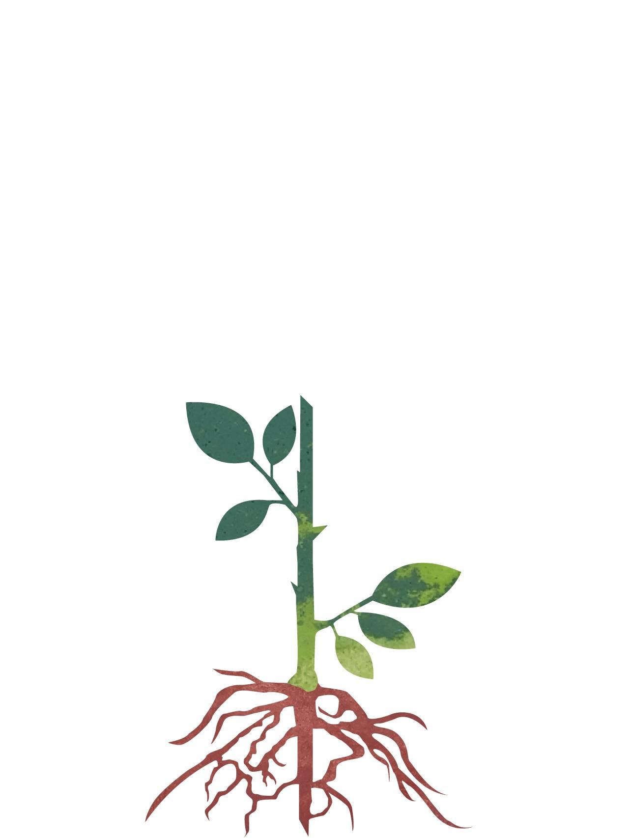 Røtter som vokser fra stiklingen.