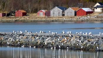 Fin dag og måkene sitter tett i tett på moloen ved Viksjøen.