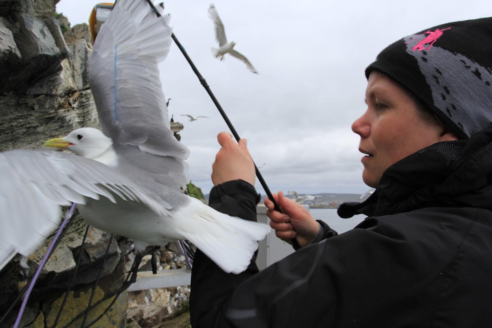 Tone bruker en slags fiskestang med løkke på tuppen, og kan enkelt fange krykkjen som sitter nærmest NRK sitt kamera 1.