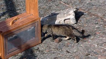 Katt inn i fangstbur