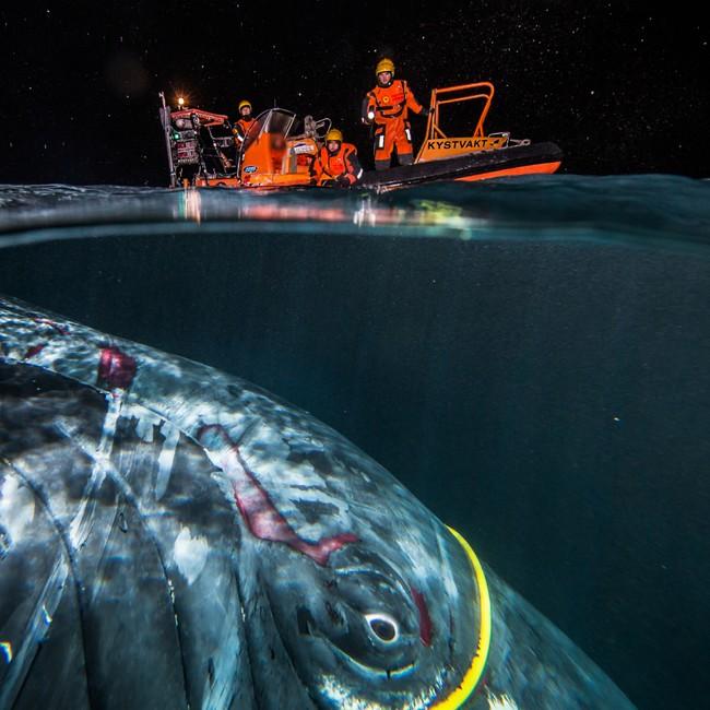 Hval under vann, fanget i gul kabel. Redningsbåt på havoverflaten.
