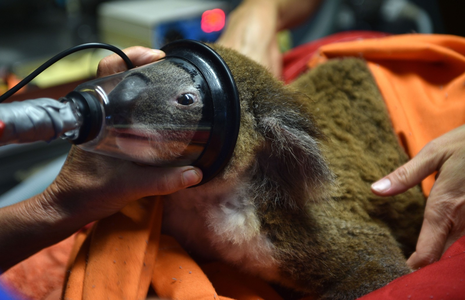 Den 12 år gamle koalabjørnen Sherwood Robyn får bedøvelse før en undersøkelse ved koalaklinikken i Port Macquarie. Koalabestanden i Australia synker og i 2012 var det rundt 330.000 koalaer. Før britene ankom Australia skal det ha vært over 10 millioner av arten. Klimaendringer, hundeangrep, påkjørsler, sykdom er årsaken til den minkende bestanden.