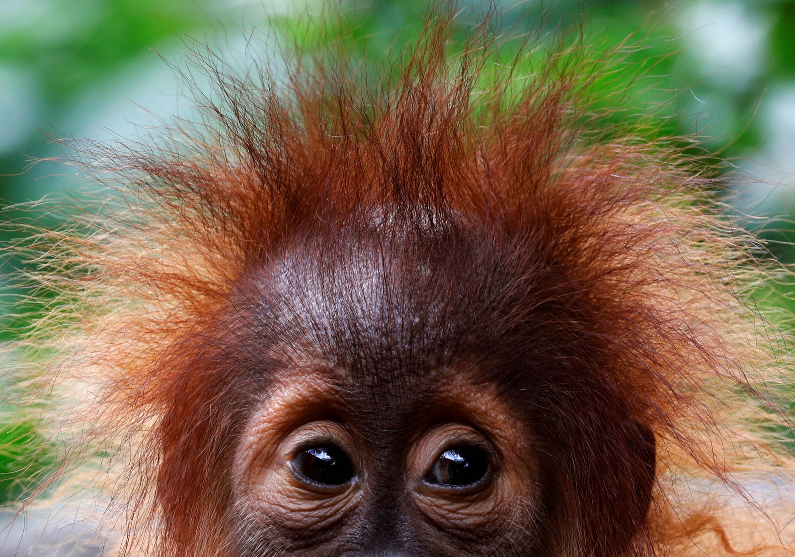 En liten orangutang i en dyrehage i Singapore.