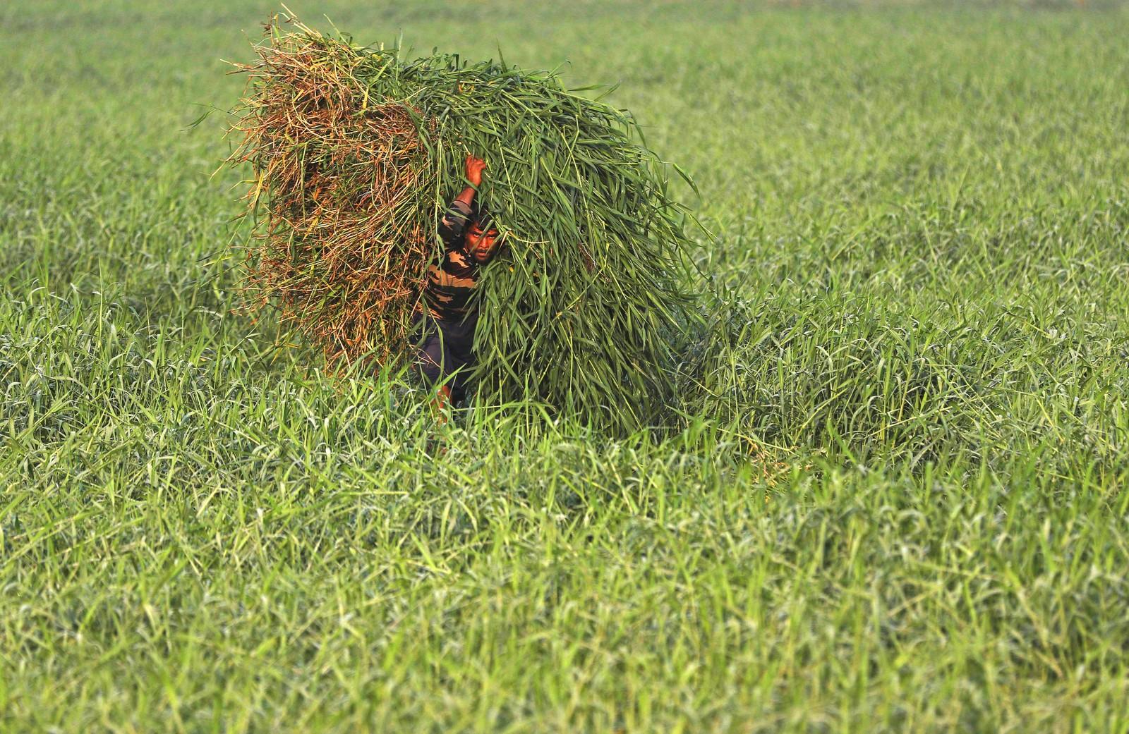 En arbeider frakter gress som kuer skal nyte i Mumbai i India.