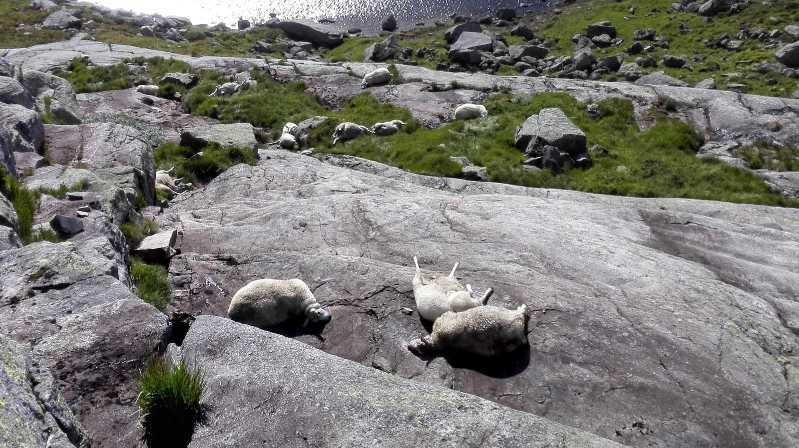 Døde sauer ved Kjerag etter fall fra stup.