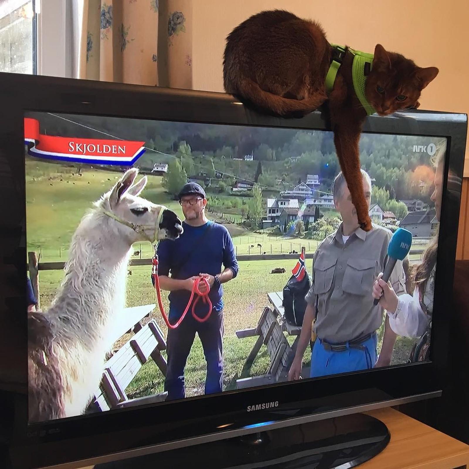 Denne katten koste seg med NRKs 17. mai-sending på TV-en. Bildet er tatt av Toril Kremmervik og delt på instagram med #nrktrøndelag.