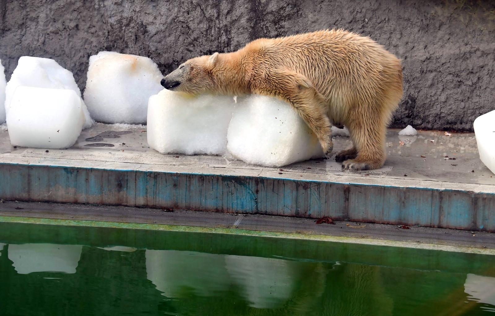 Så veldig varmt. Isbjørnen Szeriy forsøker å avkjøle seg i en dyrehage i Budapest.