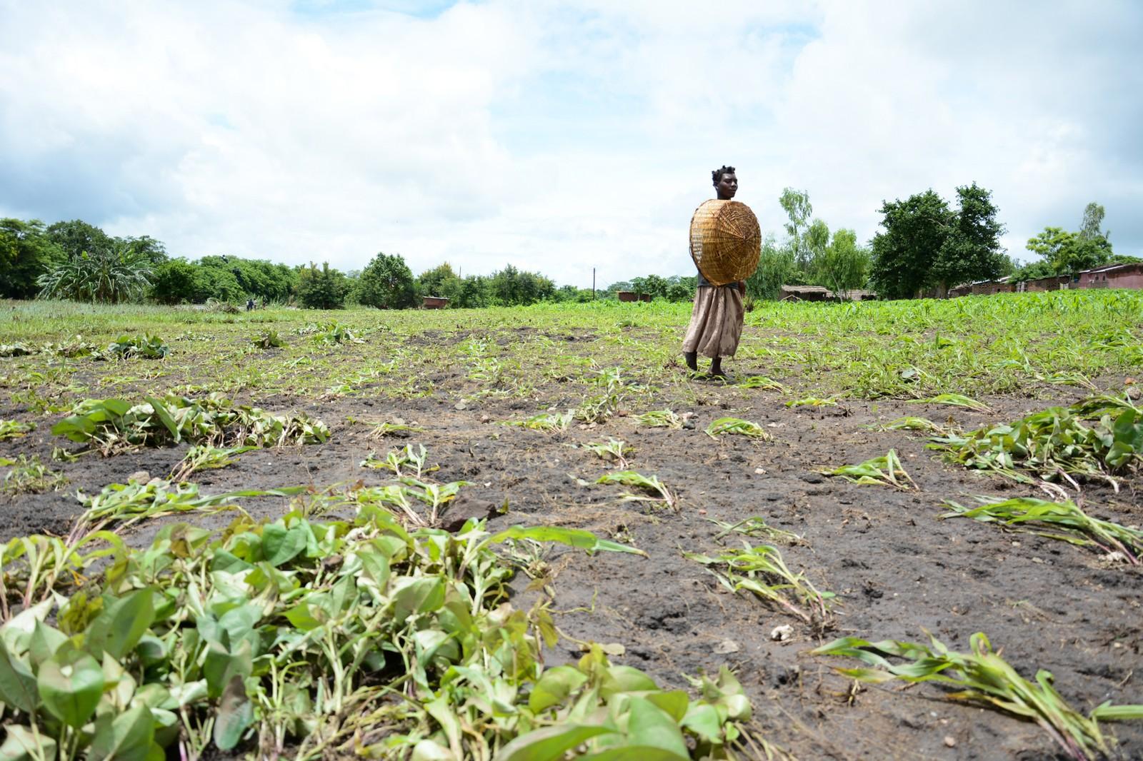 Avlingene er ødelagt av flommen - to måneder før de skulle vært høstet. Dermed kan Malawi stå overfor en sultkatastrofe.