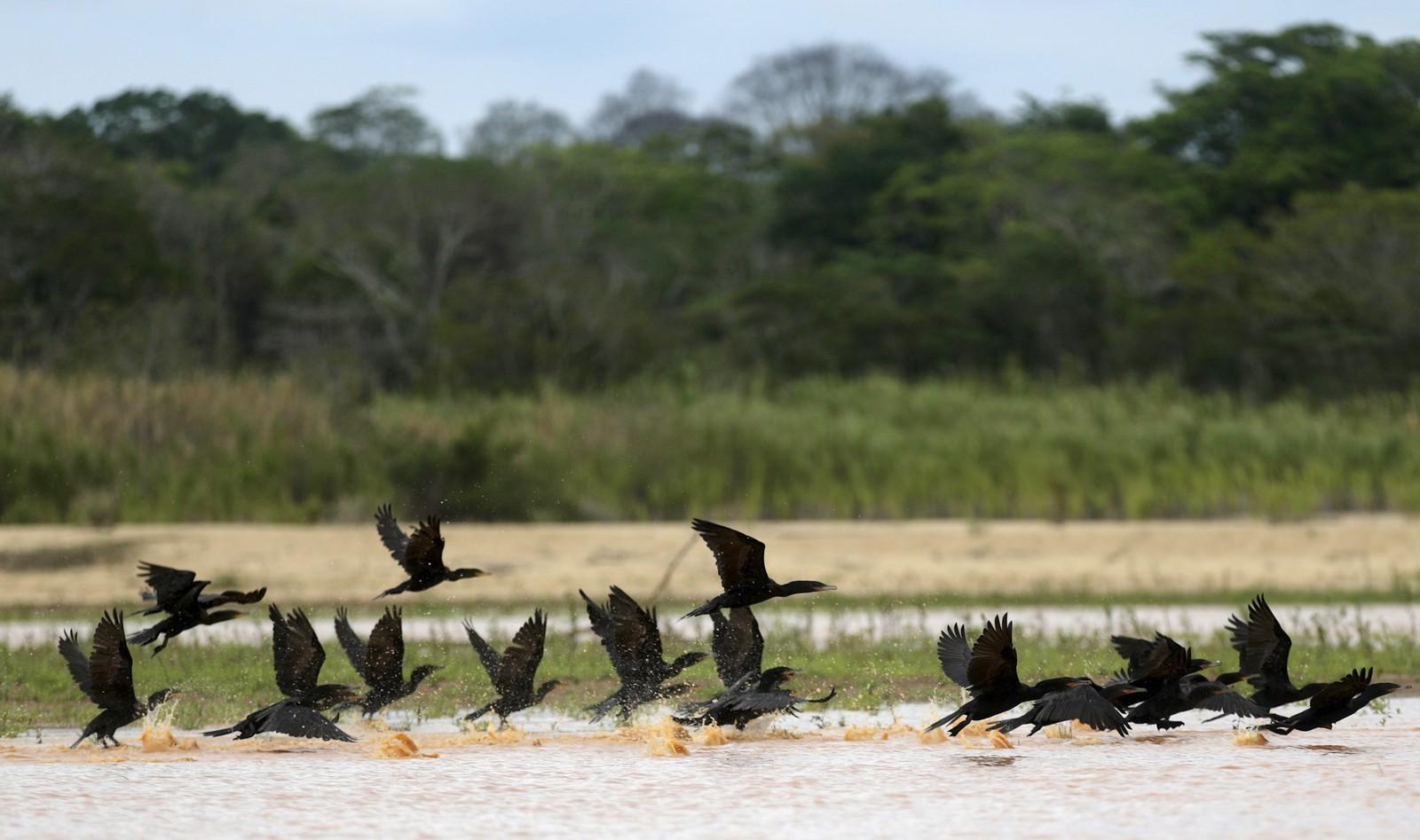 Fuglar flyt over Rio Doce, som er overfylt med giftig gjørme etter ei ulukke for eit par veker sidan. Biomangfaldet i heile regionen er truga.