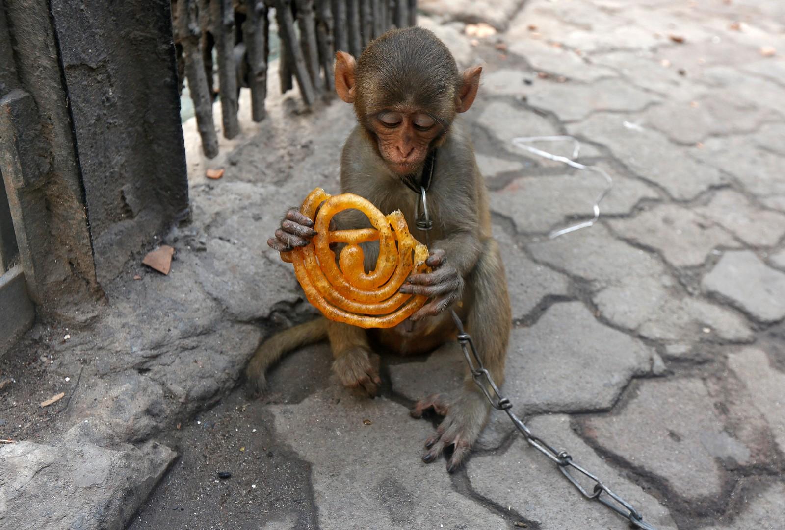 Kjæledyrapen Musafir spiser søtt bakverk på fortauet i Kolkata i India.
