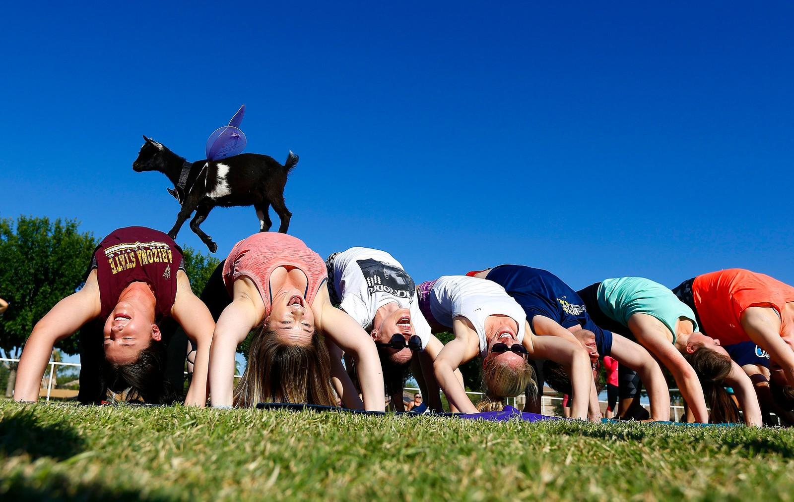 En geit går på disse deltakerne i en geiteyogaklasse i Arizona, USA. Geiteyoga skal visstnok ha sin opprinnelse i Oregon, men nå har trenden spredd seg til hele landet.