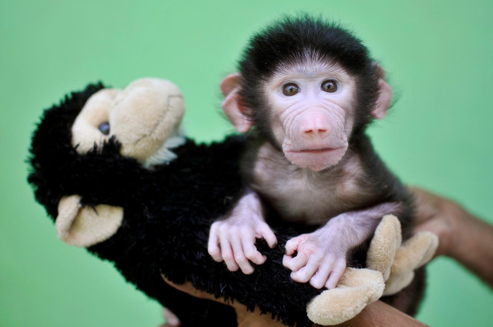 En 23 dager gammel hamadryasbavian sammen med et apekosedyr i Sri Chamarajendra-dyrehagen i Mysuru i India. Den vesle bavianen ble forlatt av moren like etter at den ble født 4. april 2016.
