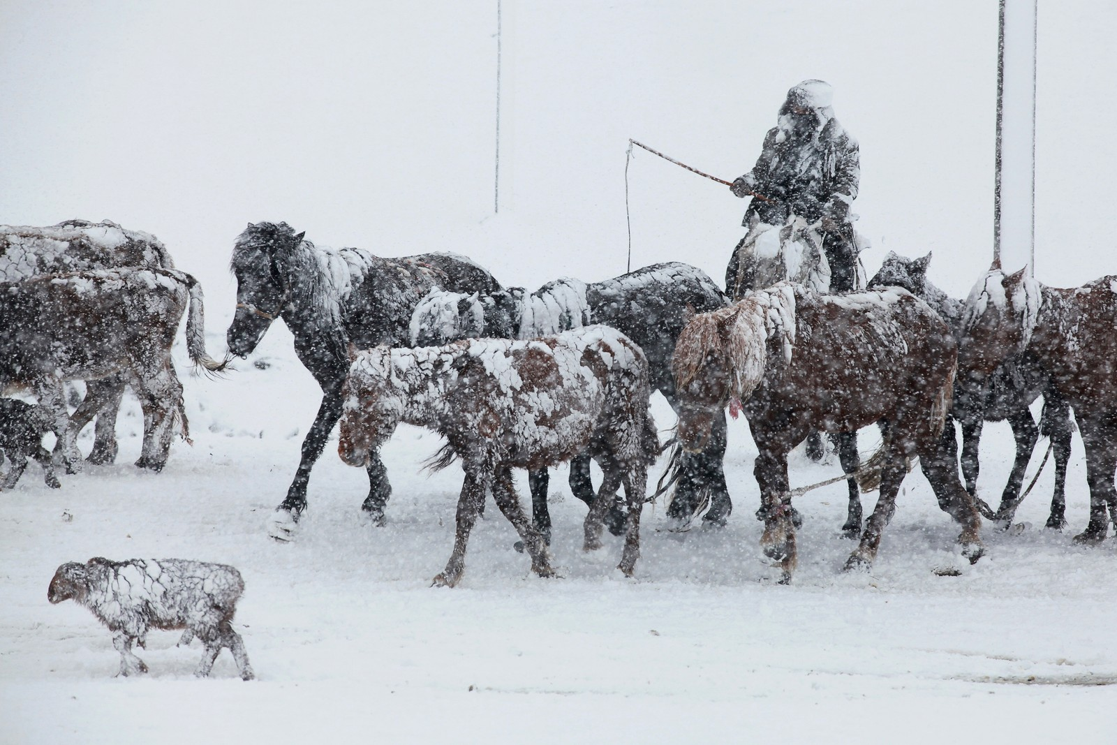 En mann fører husdyr gjennom snøen i Altay i Kina.