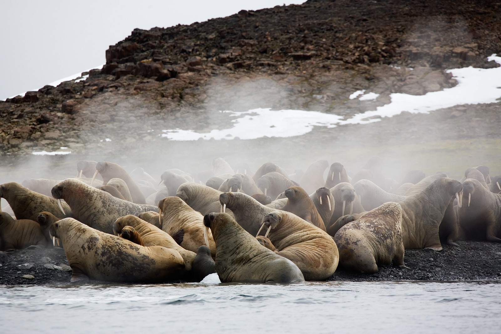 PÅ STRANDEN VED FRANS JOSEF LAND: Hvalross er ekstremt sosiale dyr som ligger tett inntil og av og til oppå hverandre når de hviler seg på land eller på isen.