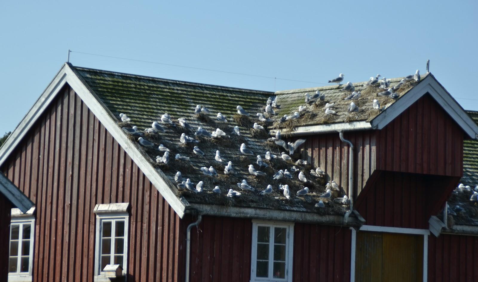 """""""Måkesomt"""" på taket i Rørvik"""
