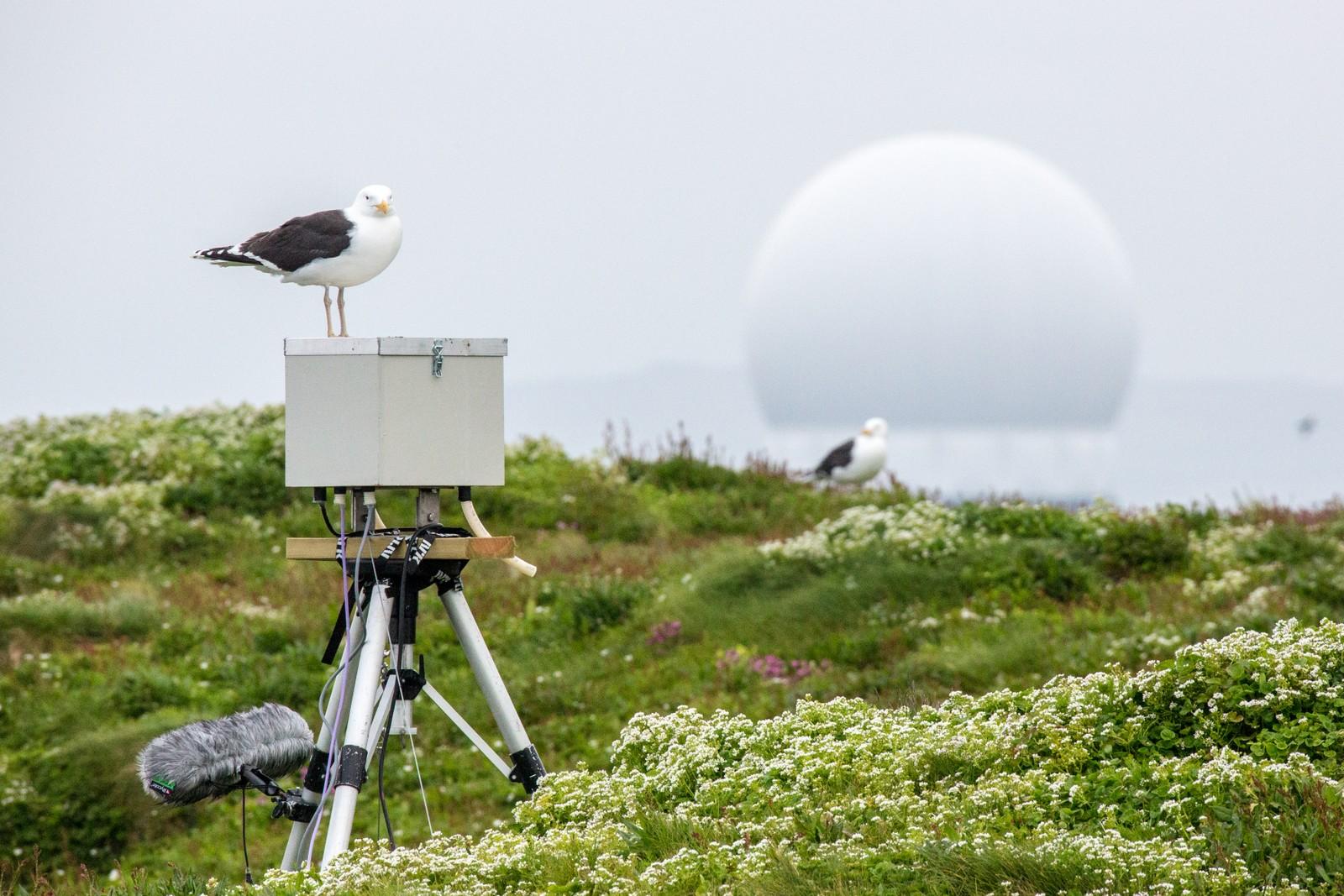 Måkekameraet står midt oppe på øyen: her har en svartbak plassert seg midt oppå kameraet for ekstra god oversikt.