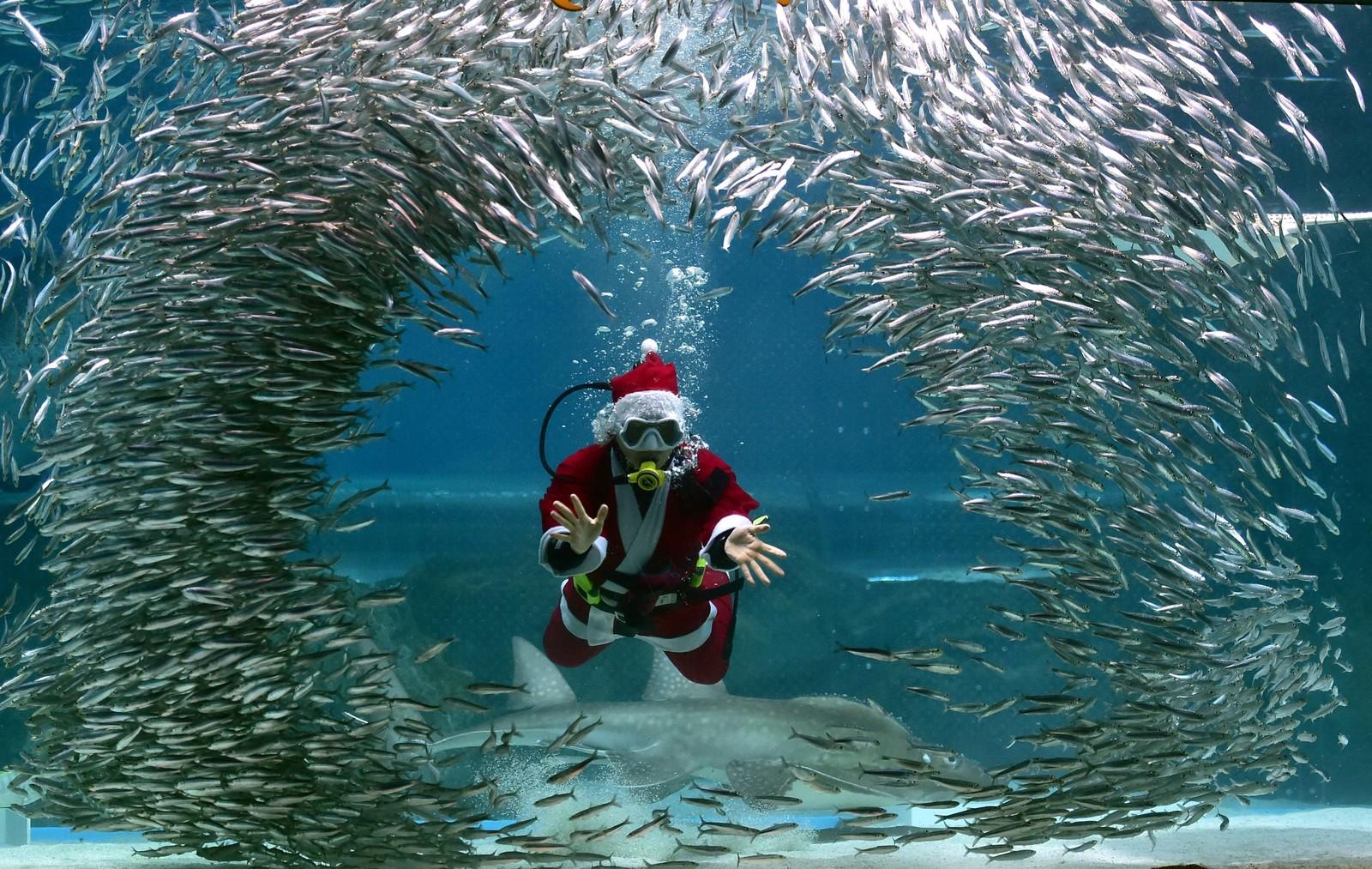 En sør-koreansk dykker ikledd julenissedrakt svømmer blant fisk i akvariet i Seoul.