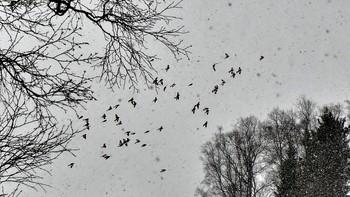 Flokker av snøspurv innimellom snøbygene