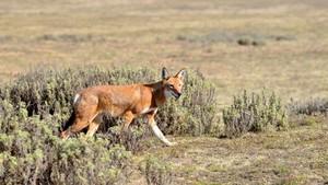 Afrikas siste ulver