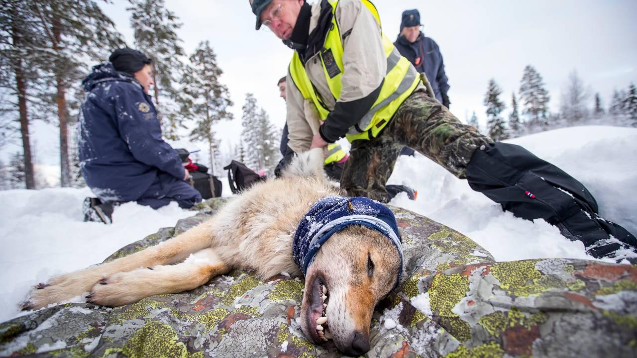 Radiomerking av ulv