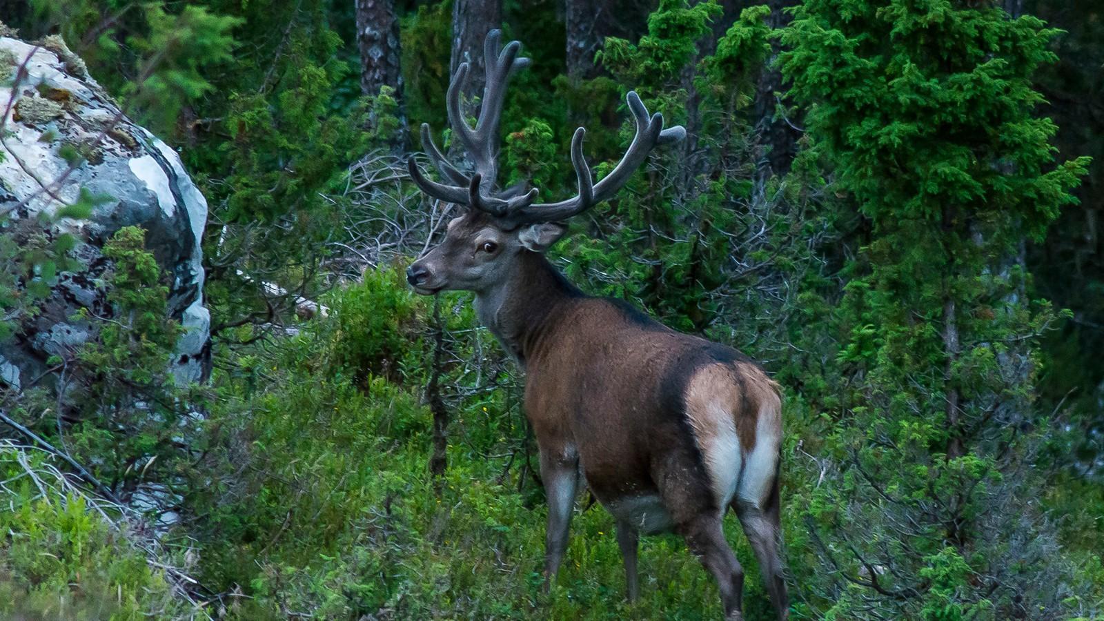 """Hjorten """"Oskar"""" vandrar rundt i Ålfoten og er bortimot tam, men i jakta er han ikkje å sjå, melder fotograf Rune Ripe."""