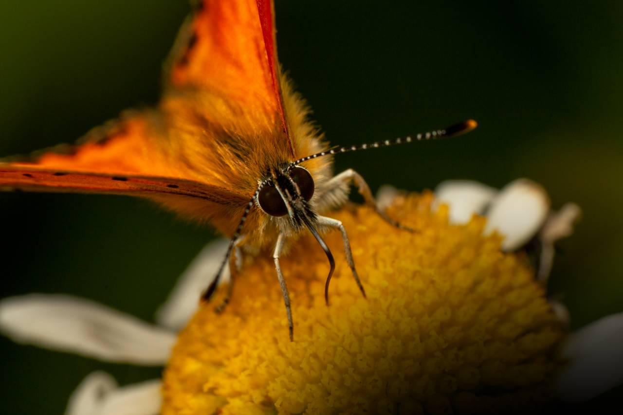 Vi er veldig nærme en sommerfugl. Vanligvis ser vi nesten bare vingene på den, men her ser vi ansiktet og de store utstående fasettøynene og de lange antennene. Den er hårete og rar, men fortsatt fascinerende vakker.