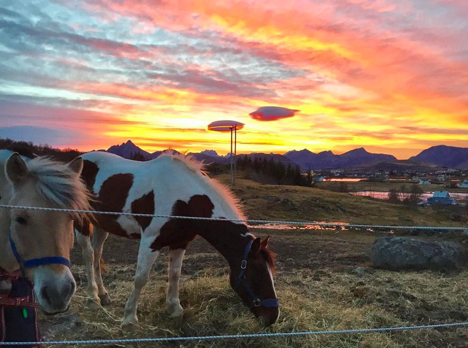 Hester i solnedgang på Vestvågøy i Lofoten.