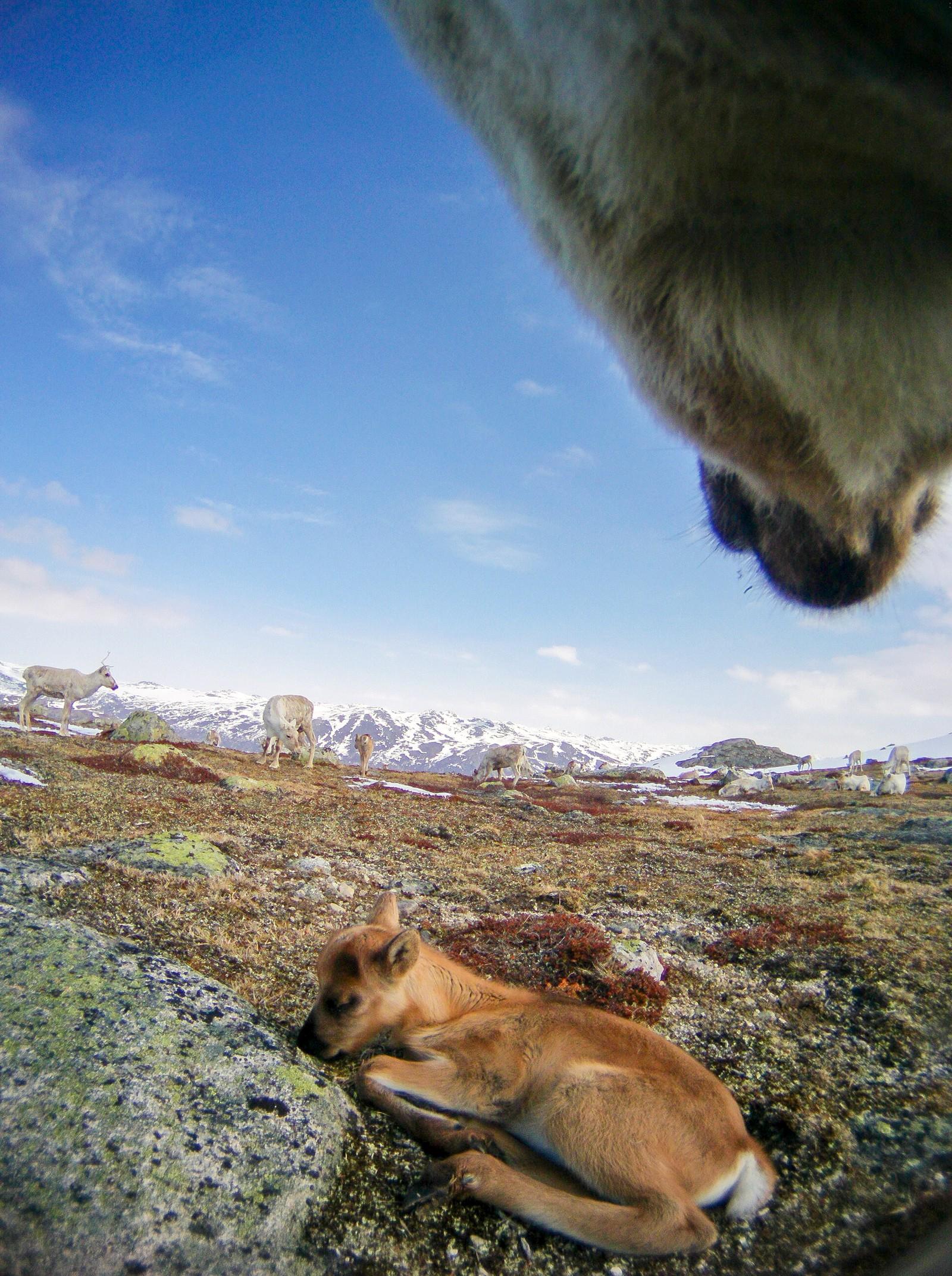Etter at kalven er født trekker simlen seg litt unna flokken, for å skape et nært forhold til kalven. Når de treffer flokken igjen, er det viktig at de kjenner hverandre godt.