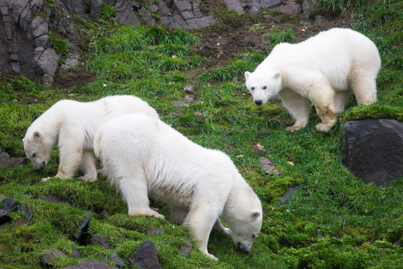 En isbjørnfamilie slo seg ned i et grøntområde over flere dager på Nordaustlandet av Svalbard. - De gresset i fire timer hver dag, sier Svein Wik.