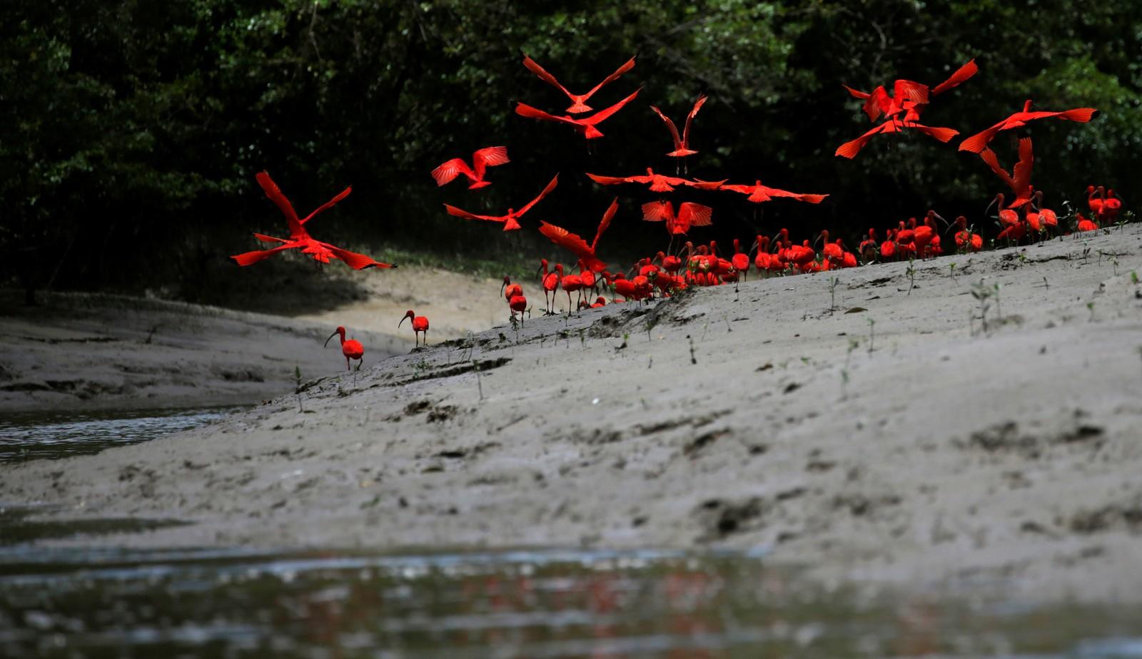 Rødibis ved en mangrovesump ved munningen av elven Calçoene i Amapa i Brasil.