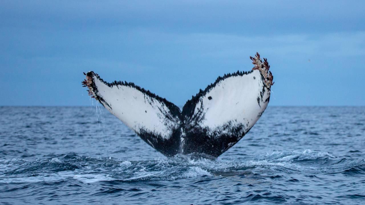 Knølhvalfinne på vei ned i dypet