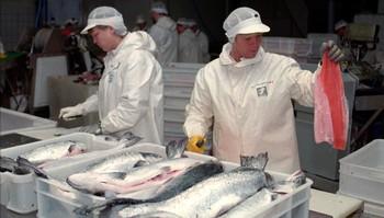 Fiskeforedling