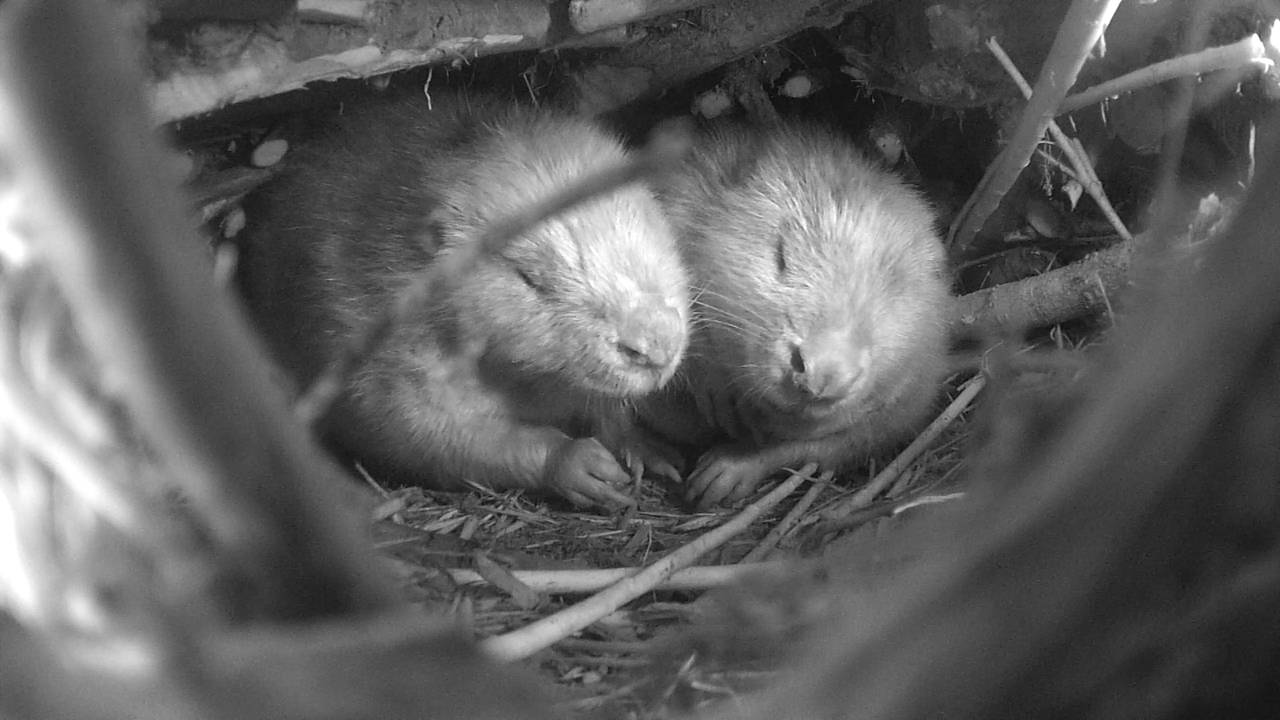 Beverpar sover i hytte