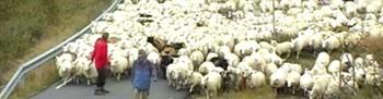 Sauesanking i Sirdalen 2006