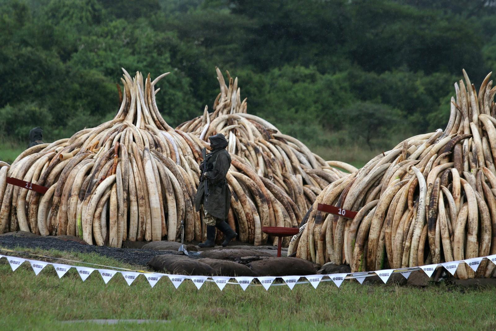 En bevæpnet vakt passer på hauger av elfenben fra elefanter og neshorn i Nairobi nasjonalpark i Kenya. Elfenbenet var beslaglagt fra krypskyttere og smuglere.