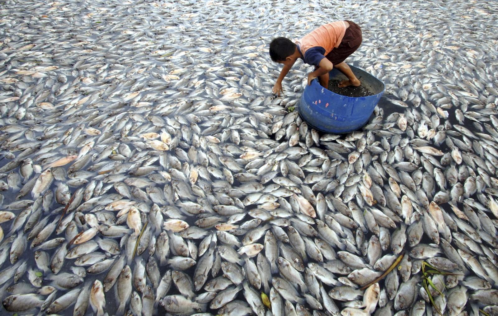 En gutt samlet i februar døde fisk ved innsjøen Maninjau på Sumatra i Indonesia. Sterke vinder, som igjen førte til lavt oksygeninnhold i vannet, ble oppgitt å være årsaken til at opp mot 30 tonn fisk skal ha dødd.