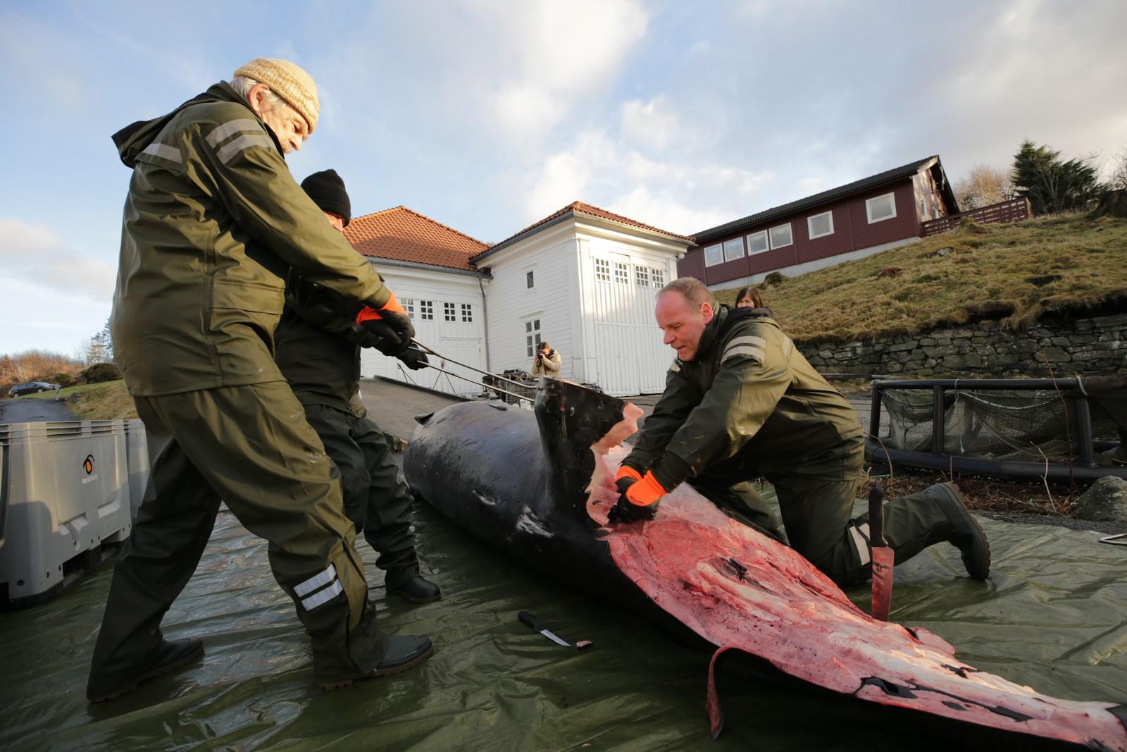 SLAKTES: UiB har ifølge zoolog Terje Lislevand hentet inn to mann fra museet med erfaring fra slakting av store dyr.