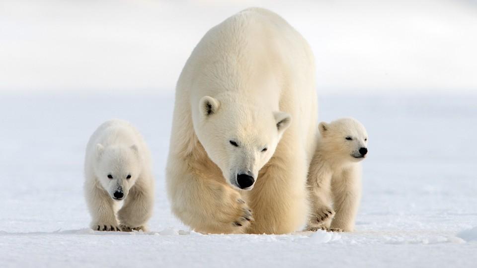 Isbjørn under nordlyset