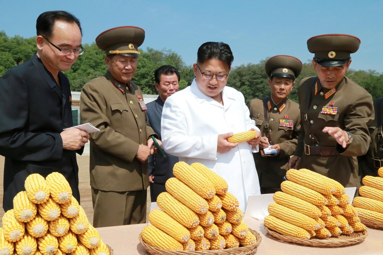 Nord-Koreas leder Kim Jong-un inspiserer maiskolber under et besøk ved gård nummer 1116 i dette udaterte bildet. Bildet ble sendt ut av det statlige nyhetsbyrået KCNA 13. september.