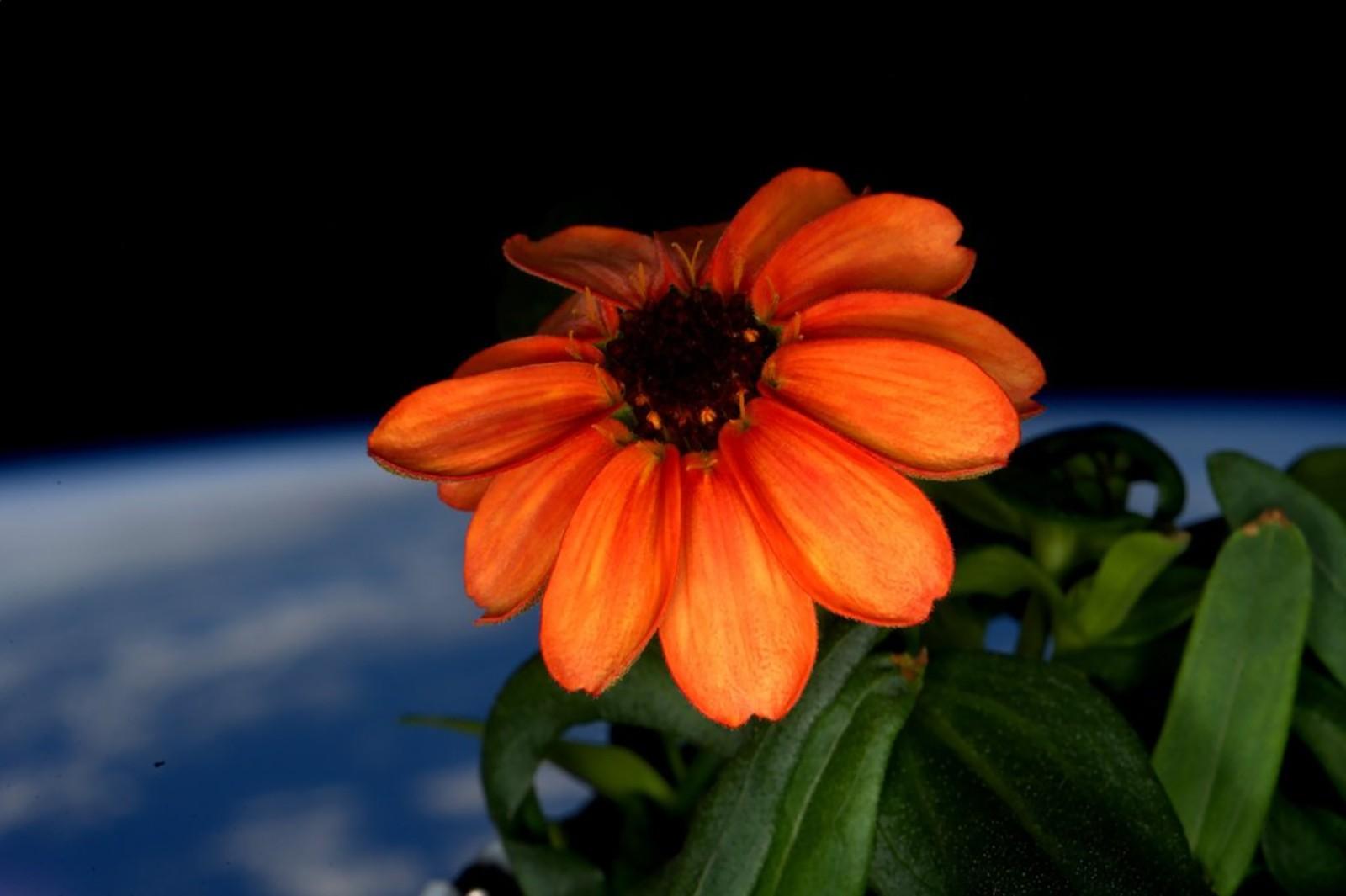 Den amerikanske astronauten Scott Kelly har delt dette bildet av en sinnia-blomst som blomstrer om bord i den internasjonale romstasjonen. «Den første blomsten som noen gang er dyrket frem i rommet», skriver han på Twitter.