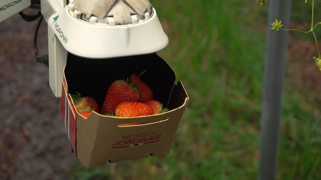 Jordbærplukkerobot