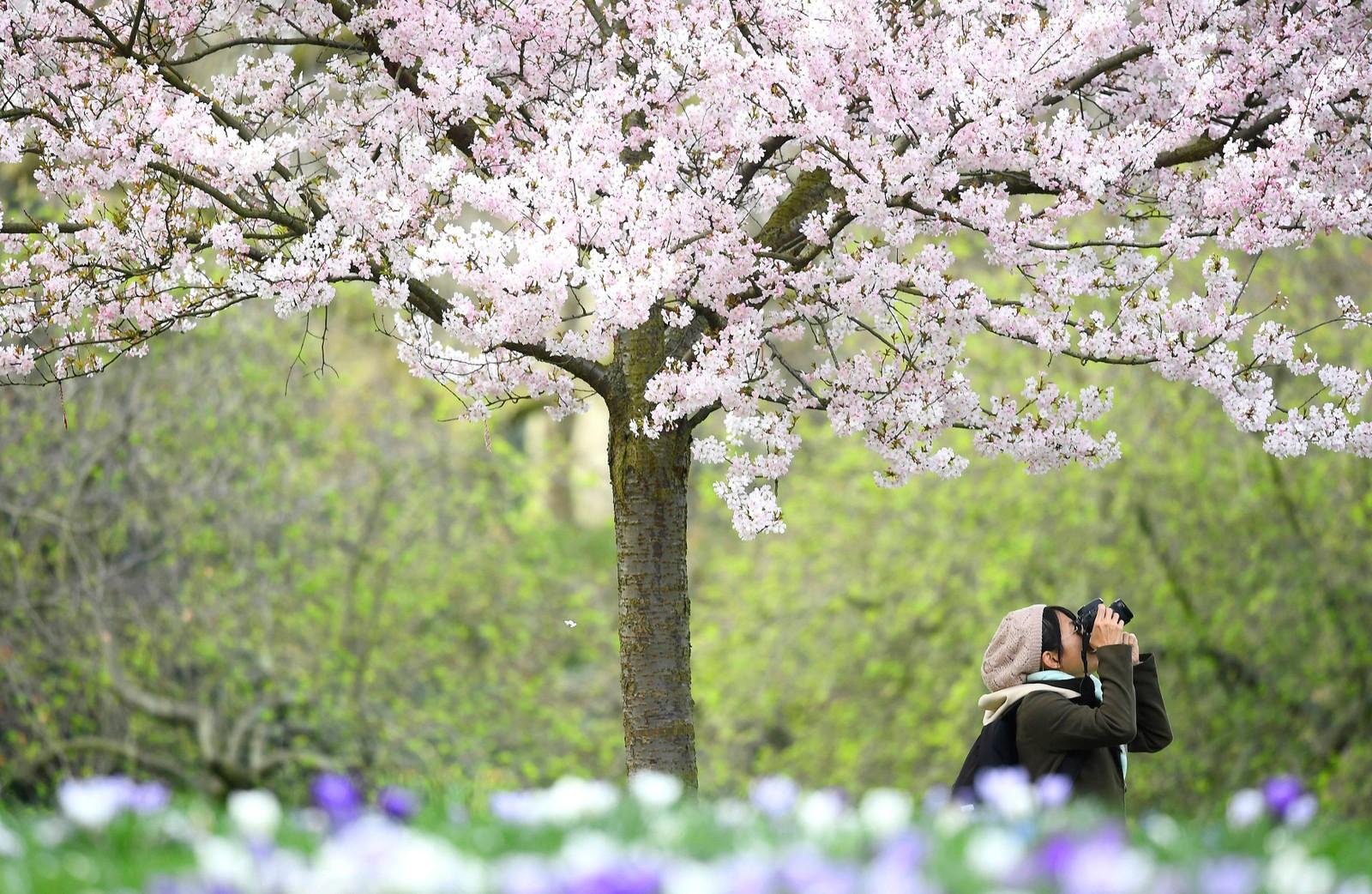 Blomstring i St. James's Park i London.
