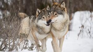 Naturen vender tilbake - rewilding