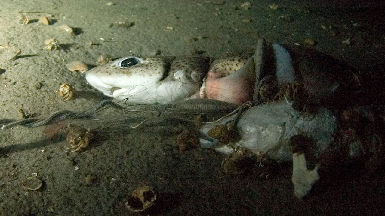 En hai er fanget i et nett på bunnen av Oslofjorden